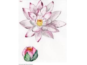 Labri, vodna lilija3